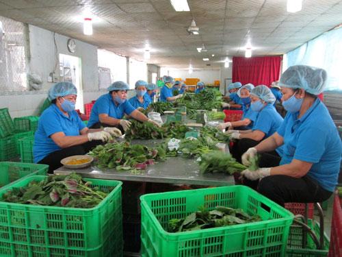 Sơ chế rau tại HTX Phước An (huyện Bình Chánh, TP HCM)