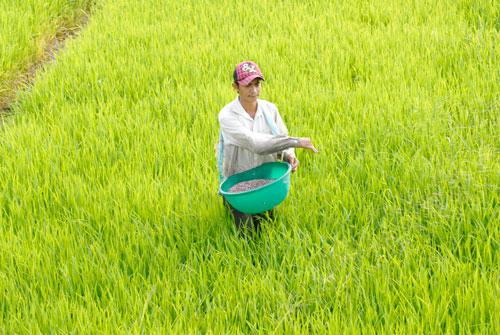 Bảo hộ DAP trong nước, nông dân chịu thiệt? - Ảnh 1.