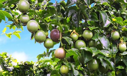Bầu Đức đã âm thầm trồng cây ăn trái như thế nào? - Ảnh 1.