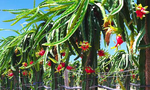 Bầu Đức đã âm thầm trồng cây ăn trái như thế nào? - Ảnh 2.