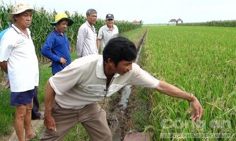 Thiệt hại hàng trăm triệu đồng do mua nhầm lúa giống - Ảnh 1.