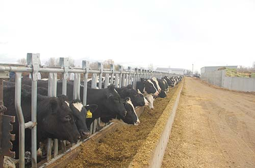 Vinamilk nhập hơn 2.000 con bò sữa cao sản từ Mỹ - Ảnh 2.