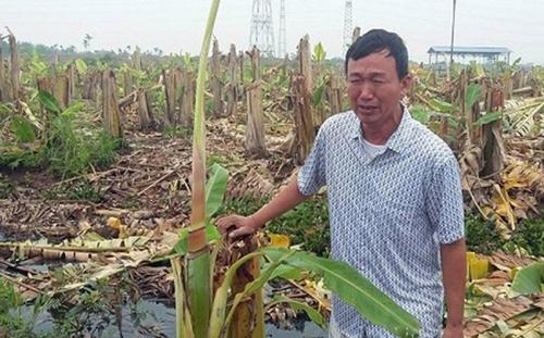 Giám đốc thuê dọn dẹp, 2.000 cây chuối bị côn đồ triệt hạ - Ảnh 1.