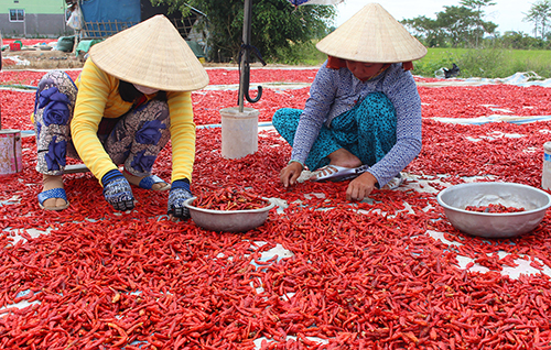Đu đủ miền Tây 500 đồng/kg, giá ớt giảm 10 lần - Ảnh 3.