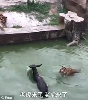 Du khách sốc cảnh cọp xé xác lừa trong sở thú Trung Quốc - Ảnh 2.