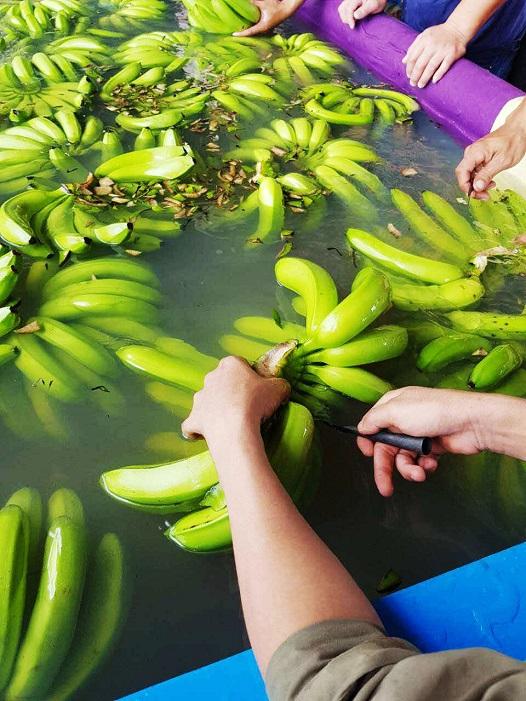 Bầu Đức thu hoạch lứa chuối đầu tiên tại Campuchia - Ảnh 1.