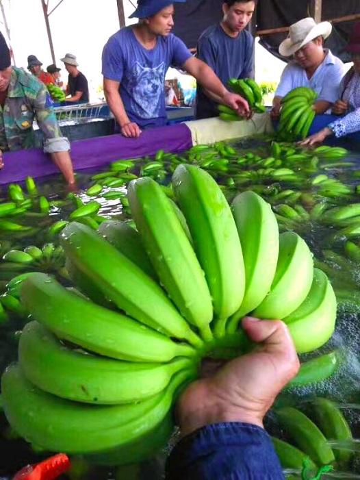 Bầu Đức thu hoạch lứa chuối đầu tiên tại Campuchia - Ảnh 2.