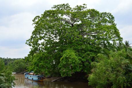 Những cổ cây có 1 không 2 ở Sóc Trăng - Ảnh 2.