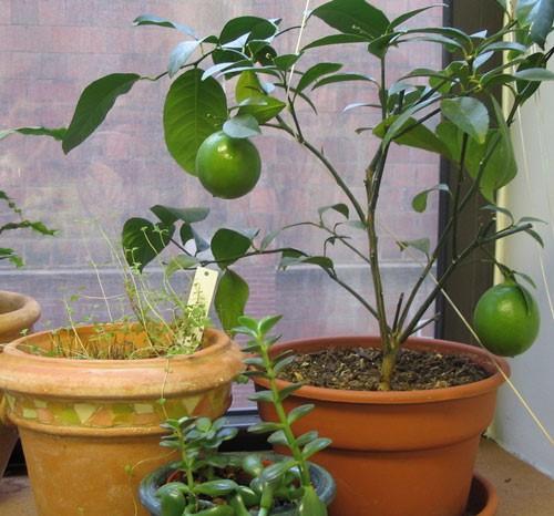 10 loại cây vừa cho ăn trái vừa làm đẹp sân vườn - Ảnh 2.