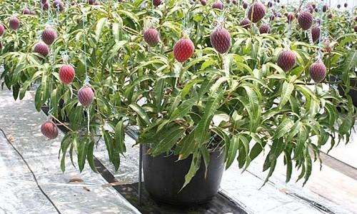 10 loại cây vừa cho ăn trái vừa làm đẹp sân vườn - Ảnh 12.