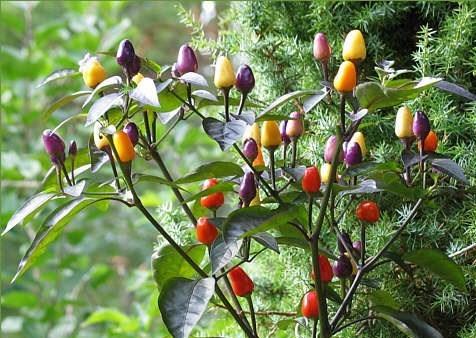 Sướng mắt với cây ớt độc và đẹp lạ lùng - Ảnh 6.