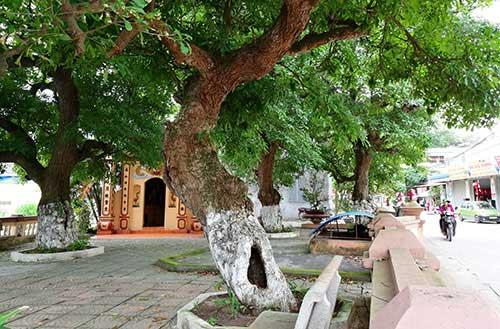 Bí mật về 4 cụ cây 700 tuổi ở Đồng Tâm - Ảnh 1.