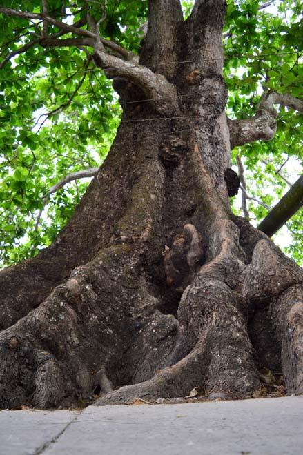 Những cổ cây có 1 không 2 ở Sóc Trăng - Ảnh 3.