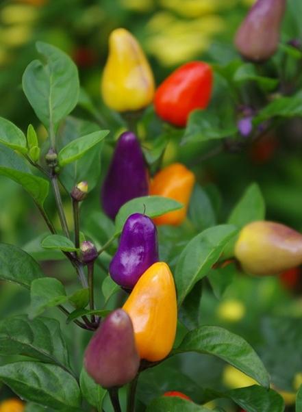 Sướng mắt với cây ớt độc và đẹp lạ lùng - Ảnh 10.