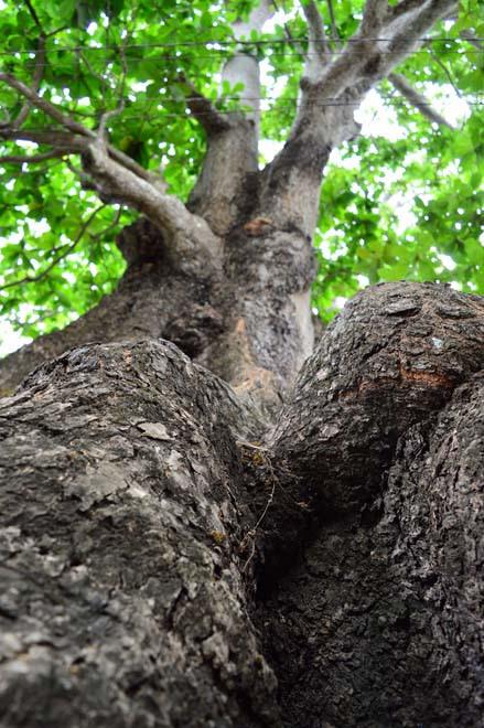Những cổ cây có 1 không 2 ở Sóc Trăng - Ảnh 4.