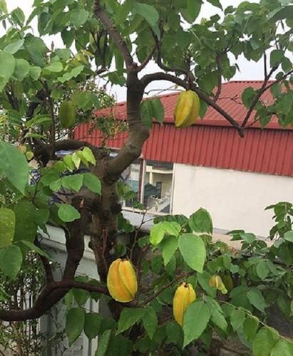 10 loại cây vừa cho ăn trái vừa làm đẹp sân vườn - Ảnh 4.
