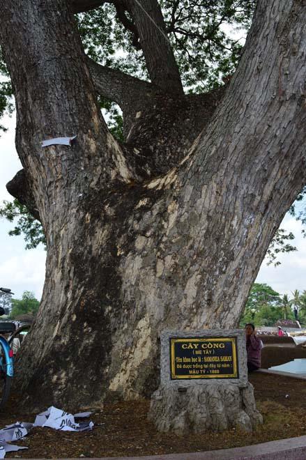 Những cổ cây có 1 không 2 ở Sóc Trăng - Ảnh 10.