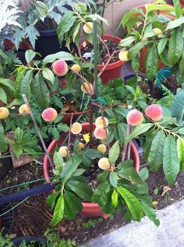 10 loại cây vừa cho ăn trái vừa làm đẹp sân vườn - Ảnh 10.