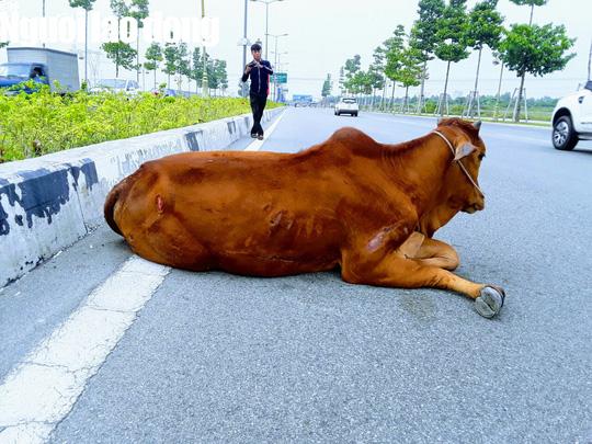 Vụ con bò biến mất: Đã bán hay tiêu hủy? - ảnh 2