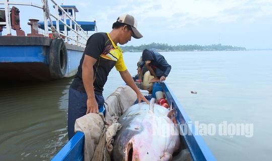 """1 Việt kiều mua được cá tra dầu """"khủng"""" nặng 240 kg - Ảnh 1."""