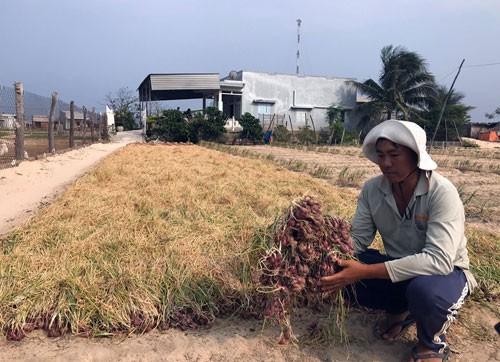 Thủ phủ hành, tỏi Ninh Thuận khốn đốn - Ảnh 1.