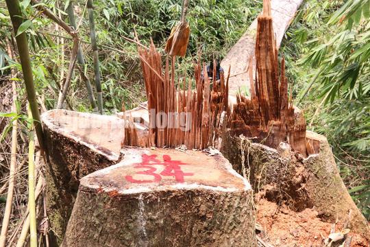 Công an tỉnh tham gia điều tra vụ thảm sát rừng lim cổ thụ - Ảnh 1.