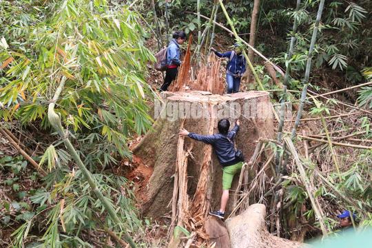 Công an tỉnh tham gia điều tra vụ thảm sát rừng lim cổ thụ - Ảnh 2.
