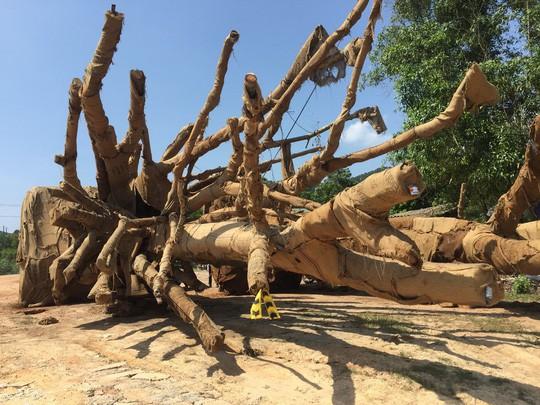 Cơ quan nào chịu trách nhiệm xác nhận nguồn gốc 3 cây quái thú - Ảnh 1.