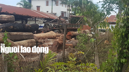 Khởi tố 5 bị can, tạm giữ 200m3 gỗ trong vụ gỗ lậu ông trùm Phượng râu - Ảnh 1.