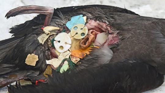 Clip: Chim lớn bụng đầy nhựa, chim non buông mình chết từ tổ - Ảnh 2.