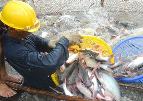 Giá cá tra bất ngờ giảm - Ảnh 1.