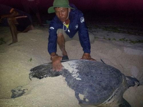 Đỡ đẻ cho rùa biển ở Hòn Cau - Ảnh 1.