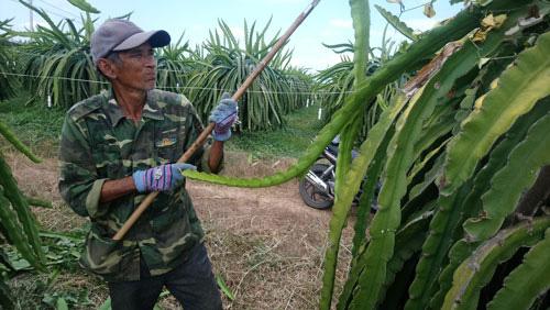 Bình Thuận thất thu mùa thanh long trái vụ - Ảnh 1.