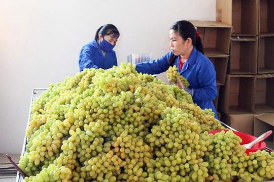 Giá nho Ninh Thuận tăng cao trong vụ chính năm nay