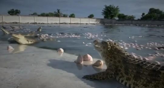 """Vì sao thịt cá sấu """"cháy hàng"""" ở Thái Lan? - Ảnh 13."""