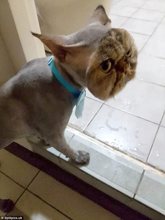 Những chú mèo có bộ lông độc đáo ai cũng phải bật cười - Ảnh 13.