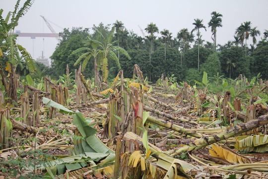 Giám đốc thuê dọn dẹp, 2.000 cây chuối bị côn đồ triệt hạ - Ảnh 2.