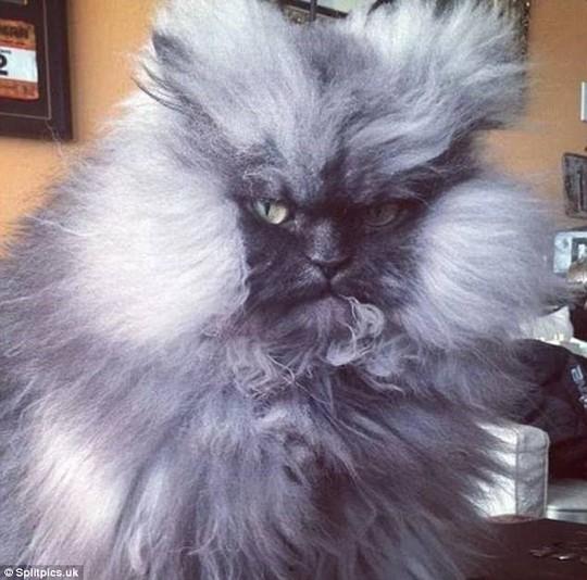 Những chú mèo có bộ lông độc đáo ai cũng phải bật cười - Ảnh 19.