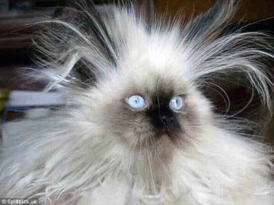 Những chú mèo có bộ lông độc đáo ai cũng phải bật cười - Ảnh 2.