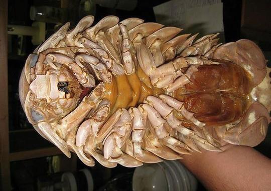 Bọ biển khổng lồ 4 triệu/con: Món nhậu lạ của dân Hà thành - Ảnh 3.