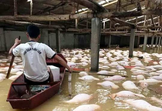 Xót xa nhìn gần 4.000 con lợn chết nổi trong mưa lũ - Ảnh 2.