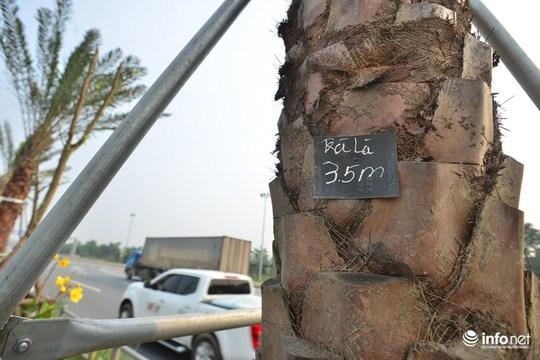 Đại diện Cty TNHH MTV Cây xanh Hà Nội cho biết: Đây là cây chà là, có tên khoa học là Phoenix dactylifera thuộc họ Cau.