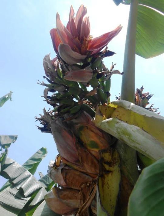 Đổ xô đi xem cây chuối hột kỳ lạ nở ra 21 hoa - Ảnh 2.
