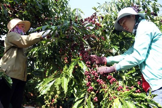 Cà phê Việt yếu từ tổ chức sản xuất đến chế biến - Ảnh 4.