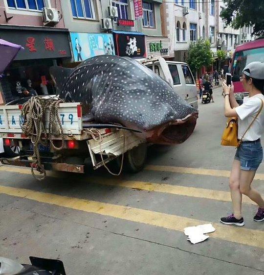 Trung Quốc: Bị bắt vì chở cá mập voi quý hiếm bán cho nhà hàng - Ảnh 5.