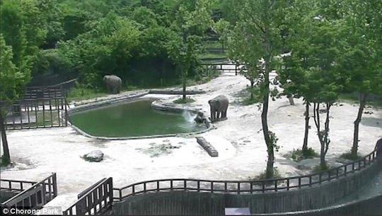 Đáng phục voi trưởng thành phối hợp cứu mạng voi con - Ảnh 1.