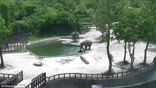 Đáng phục voi trưởng thành phối hợp cứu mạng voi con - Ảnh 2.