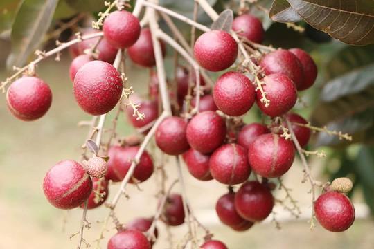 Nhãn tím độc nhất vô nhị miền Tây: Nhìn là mê, sờ là thích - Ảnh 6.