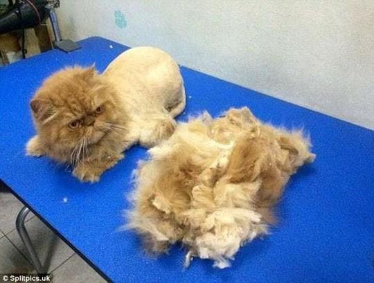 Những chú mèo có bộ lông độc đáo ai cũng phải bật cười - Ảnh 6.