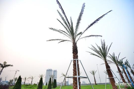 Cây chà là được trồng khá phổ biến tại các khu nghỉ dưỡng, biệt thự, sân vườn bởi giống cây này dễ thích nghi với mọi loại khí hậu và có khả năng khử độc trong không khí.